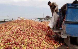 مافیای واردات کام باغداران سیب را تلخ کرد/ افول پادشاهی سیب در باغ های استان های غرب کشور