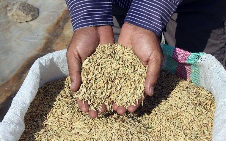 ۱۵هزار تن بذر اصلاحشده بین کشاورزان آذربایجانشرقی توزیع شد