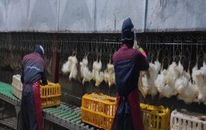 استاندار آذربایجان شرقی: مرغداریها موظف به کشتار هستند