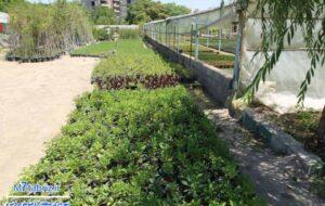 نشاء های فلفل به مرحله کاشت در باغات لاله رسید