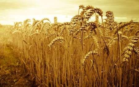 چهار هزار تن گندم در آذربایجان شرقی خرید تضمینی شد