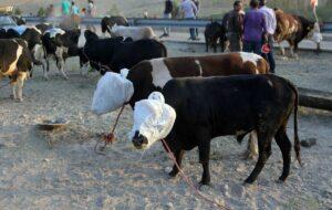 ذبح قربانی در کشتارگاههای مجاز آذربایجانشرقی انجام میشود