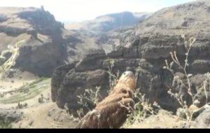 دستگیری فرد متخلف خرید و فروش پرندگان شکاری در شهرستان هشترود