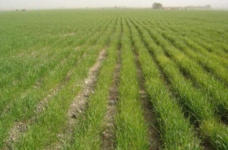 ۳۵۰ هزار هکتار از مزارع دیم آذربایجانشرقی زیر کشت میرود